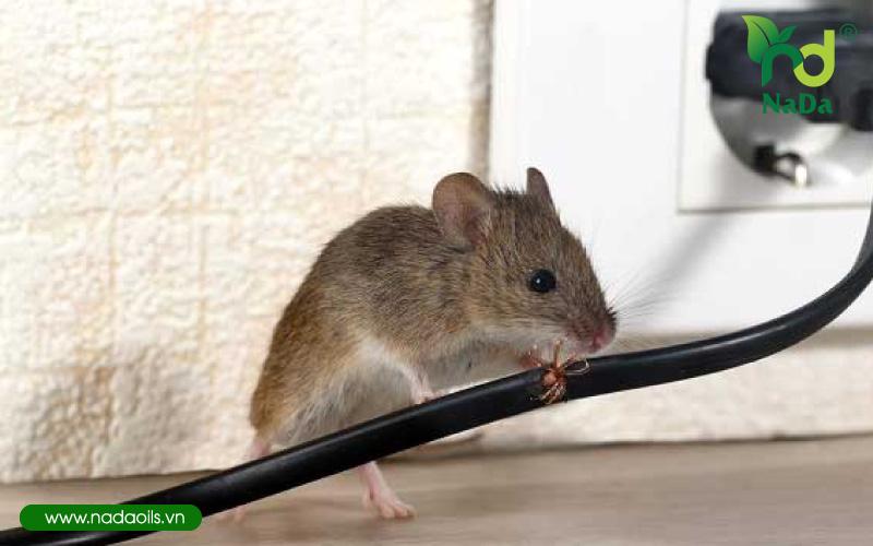 5 cách đuổi chuột